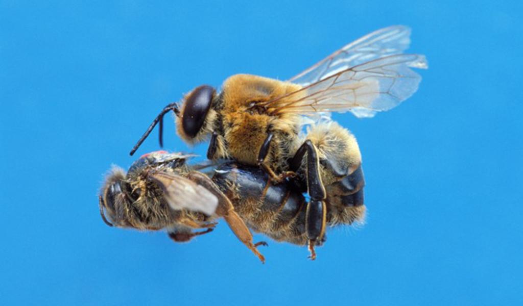 lebah jantan hewan mati