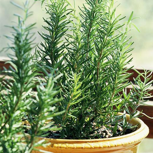 rosemari tanaman hias